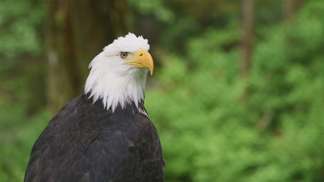 Close-up-of-a-bald-eagle-calling