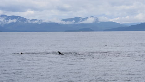Killer-whales-frolic-the-waters-off-the-Alaska-coast