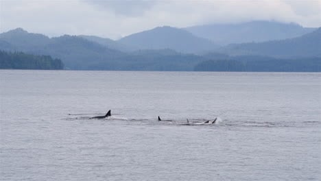 Killer-whales-frolic-the-waters-off-the-Alaska-coast-1