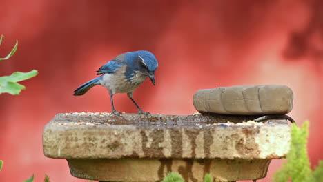 Una-Hermosa-Foto-De-Un-Pájaro-Arrendajo-Azul-En-Un-Bebedero-Para-Pájaros