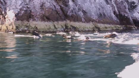 Hermosa-Foto-De-Leones-Marinos-Nadando-Y-Saltando-Del-Océano-En-Baja-California-México