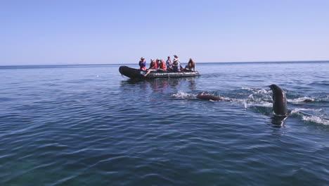 Los-Turistas-En-Un-Zodíaco-Ver-Leones-Marinos-Nadando-Y-Saltando-Del-Océano-En-Baja-California-México