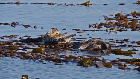 Sea-otters-wach-and-scrub-with-seaweed-on-their-backs-floating-in-the-sea
