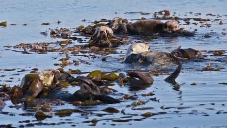 Las-Nutrias-Marinas-Cuidan-Y-Se-Frotan-Con-Algas-En-Sus-Espaldas-Flotando-En-El-Mar-2