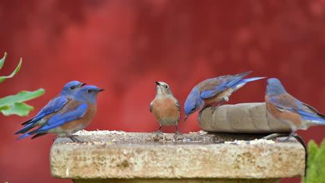 Los-Pájaros-Azules-Del-Oeste-Disfrutan-De-Un-Baño-Para-Pájaros