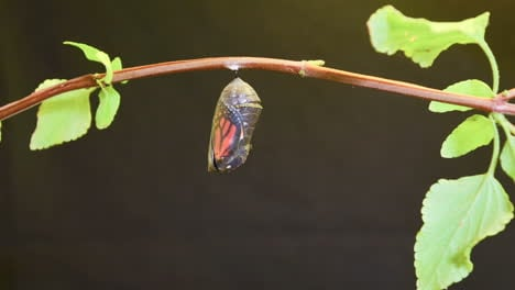 A-monarch-butterfly-undergoes-metamorphosis-in-this-time-lapse-shot-1