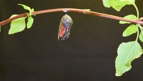 A-monarch-butterfly-undergoes-metamorphosis-in-this-time-lapse-shot-2