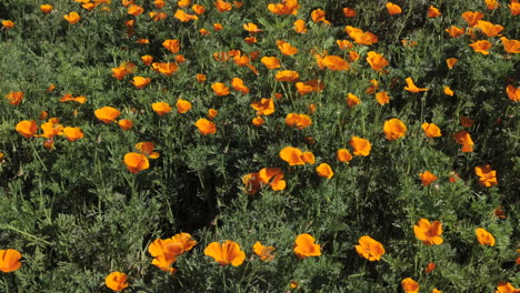 Amazing-time-lapse-of-California-poppy-flowers-blooming-and-following-sun-during-wildflower-season
