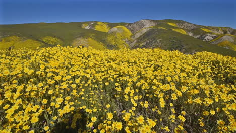 Carrizo-Plain-California-Daisy-wildflowers-superbloom-and-young-girl-photographer-panning-right