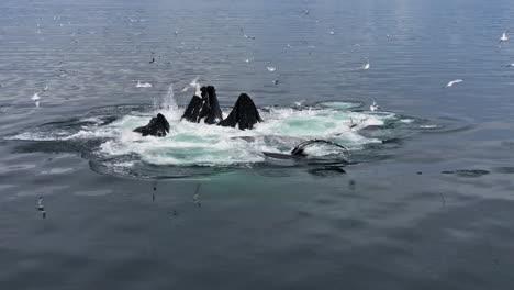 Increíble-Foto-De-Ballenas-Jorobadas-En-Pod-Sureste-De-Alaska-Alimentación-Bubblenet