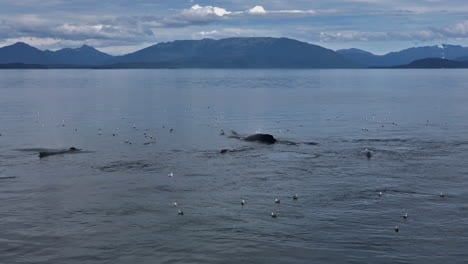 Sureste-De-Alaska-Manada-De-Ballenas-Jorobadas-Brotando-Y-Buceando-Con-Aletas