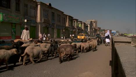 Shepherd-drives-goats-and-lamb-through-downtown-Kabul-Afghanistan