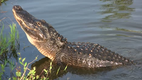 An-alligator-in-the-Everglads-raises-his-head-3