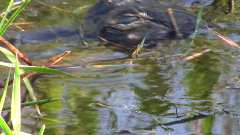 Un-Caimán-En-Los-Everglades-Se-Asoma-Desde-Justo-Por-Encima-Del-Nivel-Del-Agua