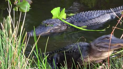 Caimanes-Nadando-En-Un-Pantano-En-Los-Everglades