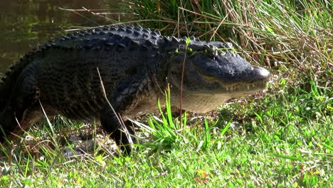 Alligators-swimming-in-a-swamp-in-the-Everglades-1