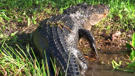 Alligators-walking-in-a-swamp-in-the-Everglades