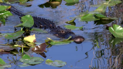 Alligators-swims-in-a-swamp-in-the-Everglades