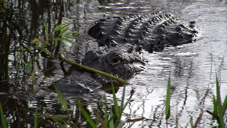Alligators-swims-towards-the-viewer-in-the-Everglades-1