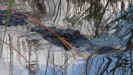 Alligators-swims-towards-the-viewer-in-the-Everglades-2