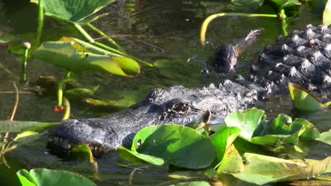 Alligators-swims-towards-the-viewer-in-the-Everglades-3