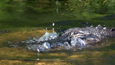 Alligator-looking-out-of-the-water-in-the-Everglades