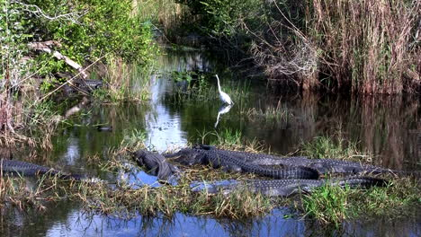 Wide-shot-of-alligators-sleeping-in-a-swamp-in-the-Everglades
