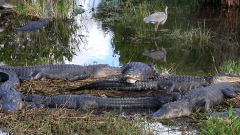 Wide-shot-of-alligators-sleeping-in-a-swamp-in-the-Everglades-1