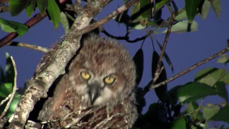 A-great-horned-owl-peers-from-the-branches-of-a-tree-at-night