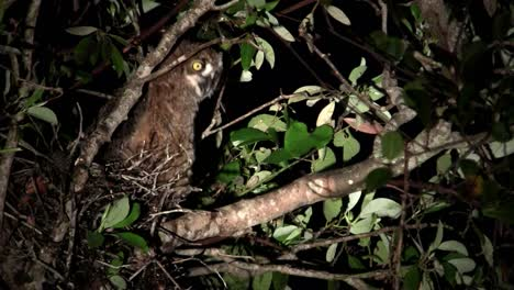 A-great-horned-owl-peers-from-the-branches-of-a-tree-at-night-3
