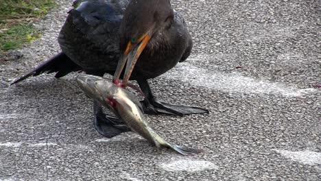 A-shorebird-devours-a-fish-whole