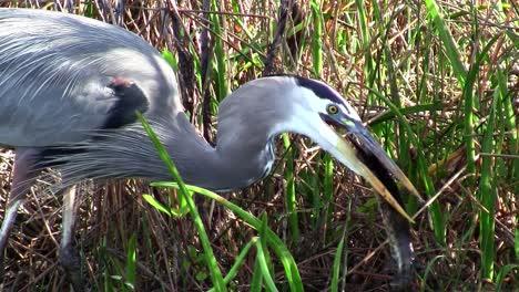 Un-Pájaro-Atrapa-Y-Come-Un-Pez-En-Un-Pantano-De-Los-Everglades