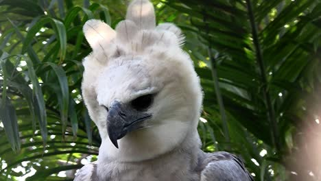 A-harpy-eagle-largest-of-world-s-eagles-peers-out-from-the-jungle