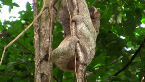 A-sloth-moves-slowly-in-a-tree
