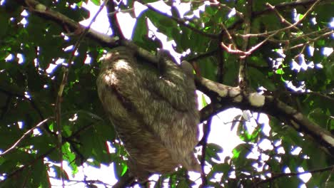 A-sloth-moves-slowly-in-a-tree-1