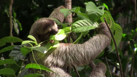 A-sloth-eats-in-a-tree