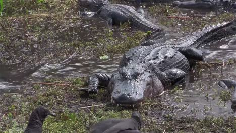Multiple-alligators-slither-and-fight-in-a-swamp