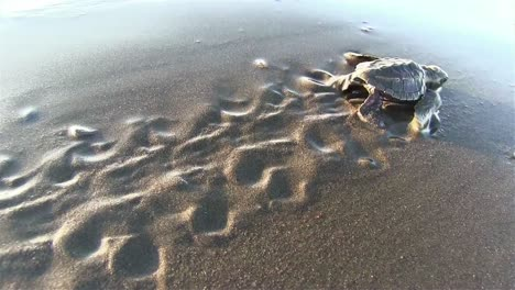 Baby-sea-turtles-struggle-to-the-ocean-to-safety