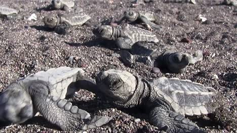 Zoom-back-from-many-sea-turtle-babies-in-sand-1