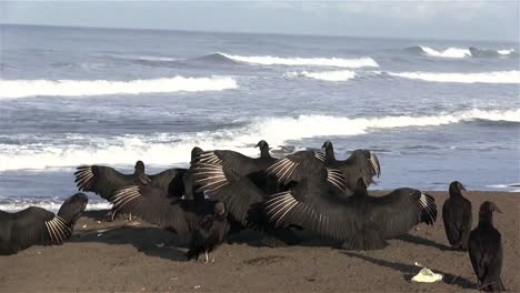 Black-vultures-spread-their-wings-in-front-of-the-ocean