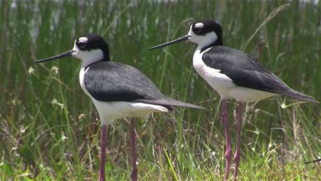 Black-necked-stilts-stand-in-a-wetland-area
