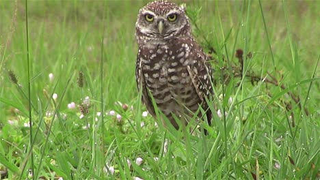 A-burrowing-owl-looks-around-1