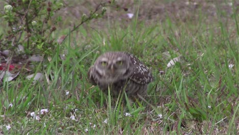A-burrowing-owl-looks-around-2