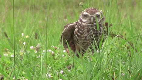 A-burrowing-owl-looks-around-4