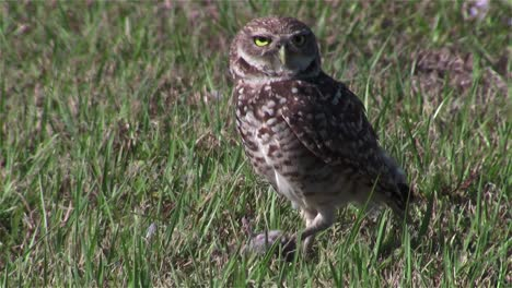 A-burrowing-owl-looks-around-5