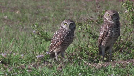 Two-burrowing-owls-looking-around