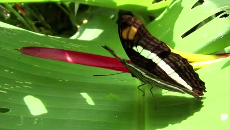 A-butterfly-spreads-its-wings-on-a-green-leaf