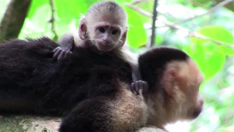 A-capuchin-monkey-with-baby-looks-around