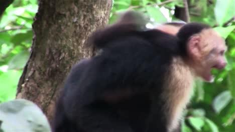 A-capuchin-monkey-with-baby-looks-around-1