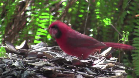 A-red-cardinal-bird-sits-on-a-tree-branch